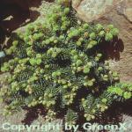 Zwerg Balsam Tanne 20-25cm - Abies balsamea