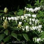 Zwergherzblume Ivory Hearts - Dicentra formosa