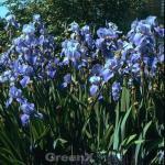 Schwertlilie Blue Rhythm - Iris barbata