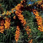 Sanddorn Sirola® 60-80cm - Hippophae rhamnoides