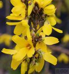 Goldglöckchen Week End 80-100cm - Forsythia intermedia