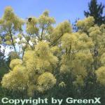 Gelbe Wiesenraute - Thalictrum flavum