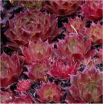 Dachwurz Red Delta - Sempervivum cultorum