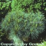 Zwergseidenkiefer 15-20cm - Pinus strobus