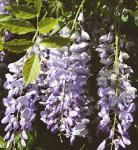 Chinesischer Blauregen Prolific 80-100cm - Wisteria sinensis
