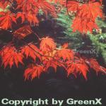 Japanischer Feuerahorn 80-100cm - Acer japonica Aconitifolium