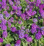 Kugelprimel Corolla Blue - Primula denticulata