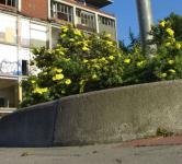 10x Kleiner Spierstrauch Longacre - Potentilla fruticosa