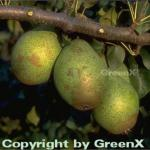 Birne Gräfin von Paris 60-80cm - feinkörnige und saftige Früchte