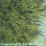 Polarbirke Zwergbirke 30-40cm - Betula nana