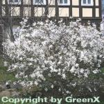 Kleine Sternmagnolie 100-125cm - Magnolia stellata