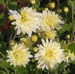 Winteraster Weißer Riese - Chrysanthemum Indicum