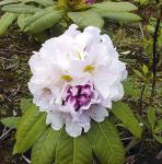 Großblumige Rhododendron Eskimo 25-30cm - Alpenrose