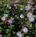 Herbstwild Aster Calliope - Aster laevis