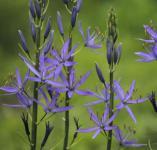 Präriekerze - Camassia leichtlinii