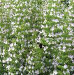 Wald Bergminze Menthe - Calamintha sylvatica