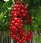 Rote Johannisbeere Jonkheer van Tets 30-40cm - Ribes rubrum