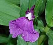 China Scheinorchidee - Roscoea cautleoides
