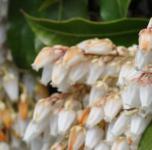Schattenglöckchen Lavendelheide Scarlett O Hara 30-40cm - Pieris japonica