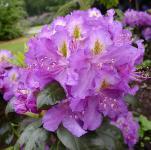 Großblumige Rhododendron Effner 40-50cm - Alpenrose