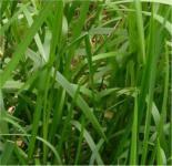 Wasserschwaden - Glyceria maxima
