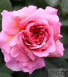 Englische Rose Princess Alexandra of Kent® 30-60cm