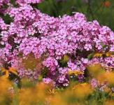 Niedrige Flammenblume Early Light Pink - großer Topf - Phlox subulata