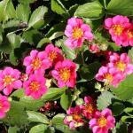 Garten Erdbeere Lipstick - Fragaria ananassa