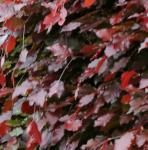 Schwarzroten Zwerg Blutbuche 60-70cm - Fagus sylvatica