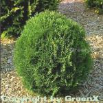 Lebensbaum Tiny Tim 30-40cm - Thuja occidentalis