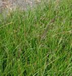 Waldschmiele Waldschrat - Deschampsia cespitosa