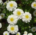 Winteraster White Bouquet - Chrysanthemum hortorum