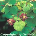 Japanische Weinbeere - Rubus phoenicolasius