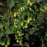 Hopfen Pure 60-80cm - Humulus lupulus