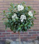 Hochstamm Mittelmeer Schneeball 80-100cm - Viburnum tinus