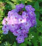 Hohe Flammenblume Blue Boy - Phlox Paniculata