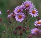 Rauhblattaster Blütenmeer - Aster novae angliae