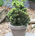 Zapfenfichte Lucky Strike 10-15cm - Picea pungens