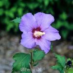 Garteneibisch Coelestis 40-60cm - Hibiscus syriacus