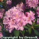 Großblumige Rhododendron Roseum Elegans 40-50cm - Alpenrose