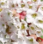 Bergenie Bressingham White - Bergenia cordifolia