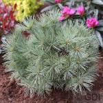 Zwergseidenkiefer Minima 30-40cm - Pinus strobus