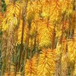 Fackellilie Flamenco - Kniphofia uvaria