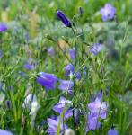 Rundblättrige Glockenblume Olympica - Campanula rotundifolia