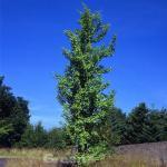 Fächerblattbaum Denise 60-80cm - Ginkgo biloba
