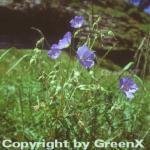 Wiesenstorchschnabel - Geranium pratense