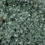 Gabelblatt - Silberraute - Artemisia stelleriana