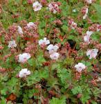 Storchenschnabel Biokovo - Geranium cantabrigiense