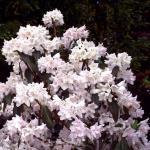 Laubabwerfende Wildrhododendron 50-60cm - Rhododendron canescens