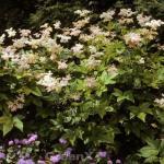Scheinspiere Rosa Schleier - Filipendula palmata